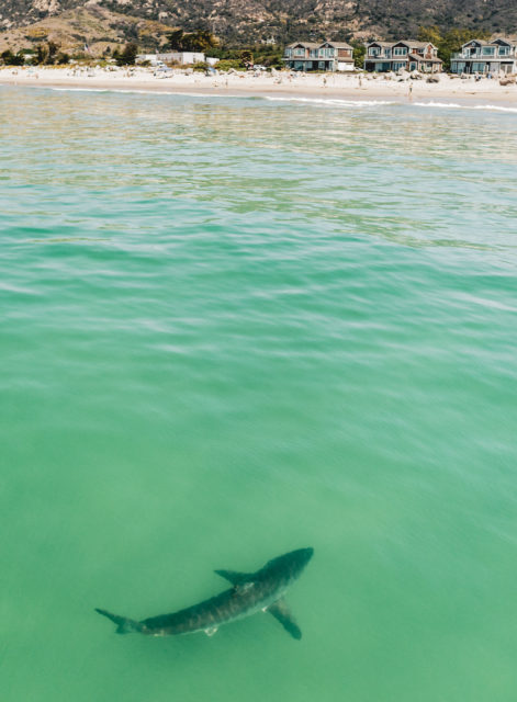 Shark Malibu Artist