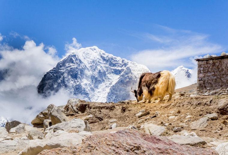 Himalaya Yak