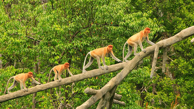 Proboscis Monkeys, Borneo