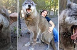 Giant Wolfdog Yuki