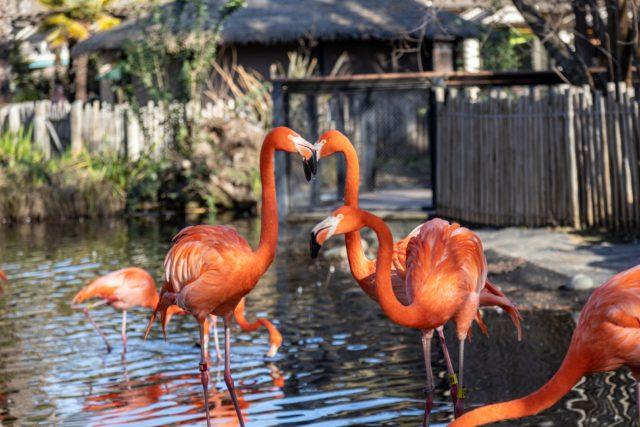 Flamingos Zoo