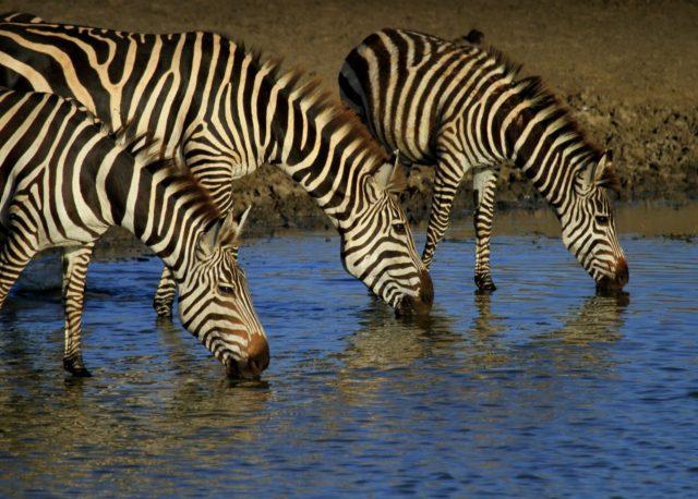 Zebras Waterhole