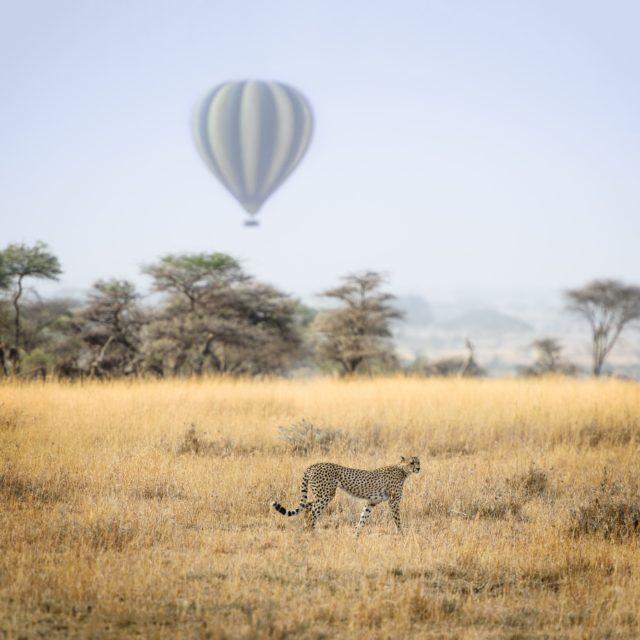 hot-air balloon and cheetah