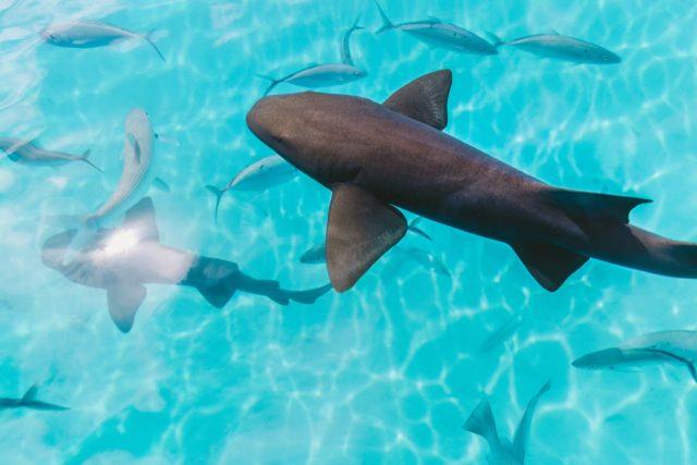 sharks fiji