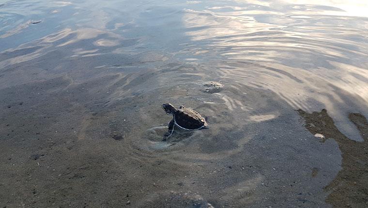 Baby Turtle, Libaran Island
