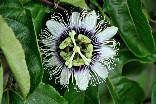 Amazon Passion Flower