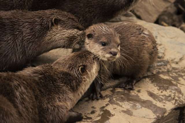 asian otters