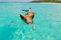 great exuma pig beach bahamas